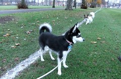 Walkies (Flashman foxes) Tags: dog cute dogs adorable sprite diamond papillon walkies alaskankleekai