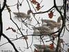 Grauwe Ganzen (katjekip) Tags: grauweganzen parkdehogeveluwe