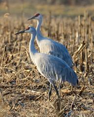 Sandhill cranes [1445] (cl.lin) Tags: birds midwest call jasper feeding wildlife birding sigma indiana cranes marsh migration calling sandhillcranes pulaski jasperpulaski nikond7000 marshdancers