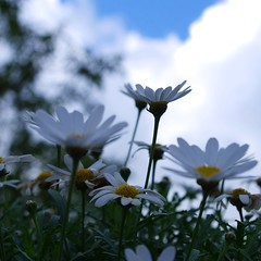 daisies (SS) Tags: camera flowers blue light sky italy white verde green nature up yellow clouds composition square photography countryside october focus dof view angle pentax bokeh pov walk perspective gimp explore crop greens daisy framing fiore bianco depth margherita vastness lazio k5 celeste atmophere