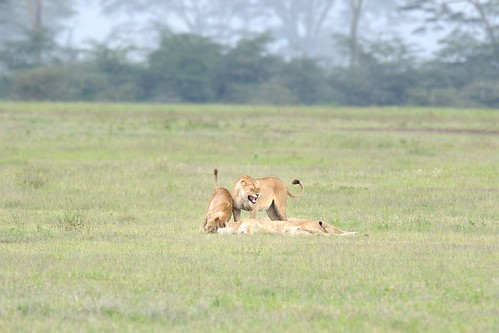 Female Lions in Ngorongoro Crater in Tanzania-12 1-13-12