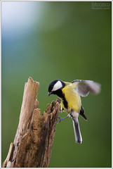 Parus major (Alessandro Laporta Photographer) Tags: greattit parusmajor koolmees chapimreal laporta kjttmeis kohlmeise talitiainen cinciallegra msangecharbonnire musvit bogatka talgoxe eurasiangreattit    shijuukara herrerillocineo skorakoadra   alessandrolaporta fotocesco flotmeisa skorkavek  arpennglaou greattitgreat