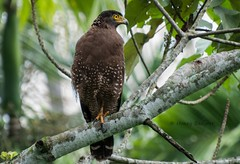 Crested Serpent Eagle (Shanaka Kalubowila) Tags: life park wild camp nature birds asian photography eagle wildlife creative safari sri lanka honey srilanka serpent crested yala shanaka wilpattu creativemoment aravinda kumana blacknaped badgerr homagma