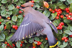Bohemian Waxwing (midlander1231) Tags: uk england nature birds britain wildlife migration ornithology waxwing britishwildlife bohemianwaxwing britishbirds irruption waxwingsbritain2012 waxwingirruption2012 waxwingswinter20122013