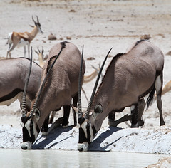 Namibia (Eugene Bakker) Tags: africa dessert wildlife drinking waterhole namibia oryx etosha namibie etoshanationalpark spiesbok oryxbeisa drinkingplace