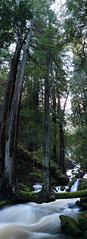 The T Tree (fksr) Tags: california panorama tree creek marincounty redwood stitched mounttamalpais weirdtree cataractcreek unusualtree