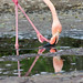 Flamingo in the shallows