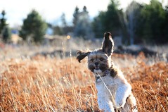 leaping for joy (3-52) (ChezChiens) Tags: dog flying jumping leaping 52 moppet 52weeks 352 52weeksproject