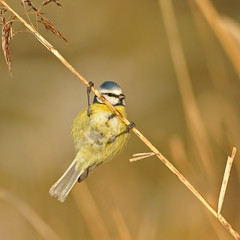 Eurasian Blue Tit (Wouter's Wildlife Photography) Tags: bird nature ngc natuur npc pimpelmees awd vogel songbird cyanistescaeruleus eurasianbluetit mygearandme mygearandmepremium mygearandmebronze mygearandmesilver mygearandmegold mygearandmeplatinum mygearandmediamond