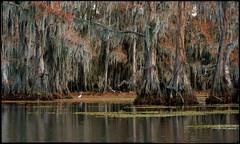 The many moods of Lac Caddo:  Humbling (nyc dreamer) Tags: texas fallcolors bayou swamp frontpage egret cypresstrees lakecaddo explore9 nikond800 themanymoodsoflaccaddohumbling