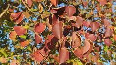 Swinging - Autumn leaves (ogawa san) Tags: autumn leaves campus sfc shonan fujisawa keiouniversity 枯葉 慶應義塾大学 紅葉 秋 湘南藤沢キャンパス