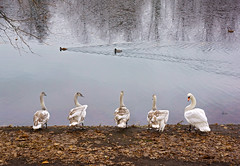 The princes of the pond (*Gitpix*) Tags: lake reflection bird nature water leaves birds animals swimming see tiere duck leaf swan wasser schwimmen five sony laub natur cygnet ducks prince foliage swans princes waterfowl enten vgel blatt teich ente bltter schwan spiegelung cygnets tier prinz wasservgel waterfowls schwne fnf wasservogel pind prinzen jungerschwan jungeschwne sonynex7