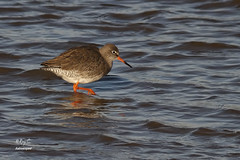 A wading Wader (roychurchill) Tags: bird birds canon devon barnstaple northdevon redshank wader astrotelescope astroscoped