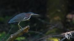 Green Heron of Allaire - 1 (RGL_Photography) Tags: heron birds us newjersey unitedstates wildlife monmouthcounty jerseyshore ornithology gardenstate greenheron butoridesvirescens walltownship nikond500 allairevillage nikonafs200500mmf56eedvr wildlifephotographyallairestatepark