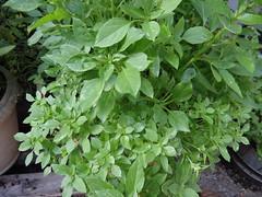 (Victor.G.V) Tags: gardening basil