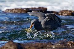 Catch /1 (Geoff Main) Tags: australia bird canon7dmarkii canonef300mmf28lisiiusm canonefextender20xiii easternreefegret nsw nswsouthcoast rockshelf sea easternreefheron nswsouthcoastaustraliabirdcanon7dmarkiicanonef300mmf28lisiiusmcanonefextender20xiiieasternreefegretmoruyaheadsnswnswsouthcoastpedropointrockshelfsea