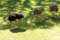 Siga o chefe! (Fernando R de A V) Tags: bird avestruz ostrich