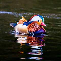 The dandy (Steve-h) Tags: nature natura natur naturaleza duck mandarin drake dandy reflections ripples water swim swimming swimmer colour colours pink red orange gold yellow green blue iridescence white purple black pond lake park bushypark dublin ireland europe spring march 2016 digital exposure ef eos canon camera lens wildfowl wildlife wild steveh allrightsreserved