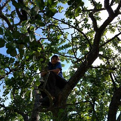 This is how Luke spent much of his time at the #BullocksPermacultureHomestead, up in a #fruittree. (Heath & the B.L.T. boys) Tags: instagram luke tree fruit apple permaculture farm