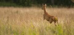 a new Olympic discipline (hardy-gjK) Tags: roe deer reh motion wiese gras runing nikon 300mm nature simply superb monde de la photo meadow green animal tier mammal amazing