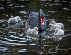 Black swans 5 (Mariasme) Tags: blackswan wildlife australia centennialpark sydney young cygnets pond inthewater
