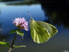 Kleiner Kohlweissling (Pieris rapae) (MacroManni) Tags: deutschland germany nrw rheinerftkreis schmetterling falter tagfalter butterfly papillon makro macro insekten insects kleinerkohlweissling kastersee