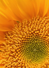 Sunflower (goldengirl 2011) Tags: sunflower sunflowermacro macroflower macrosunflower sunflowerblossom pattern indoor katharinehanna petal macro flower