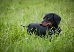 Dog Photography/London (www.natashaballettaphotograhy.com) Tags: minidachshund dachshund miniaturedachshund sausagedog dog dogphotography dogphotographer dogphotographylondon