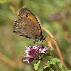 Meadow Brown at Queendown Warren (likrwy) Tags: butterfly meadow brown maniola jurtina lepidoptera nature queendown warren