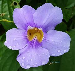 Flower (radhkrishna) Tags: flower flowers nature waterdrops raindrops kannur kerala