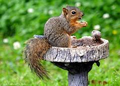 Last Time I  Saw This Cutie (Kaptured by Kala) Tags: sciurusniger foxsquirrel squirrel garlandtexas babysquirrel baby eating alone cute birdfeeder birdseed sunflowerseed