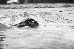 D75_1751 (Andy Kahumbu) Tags: beach kenya watamu hawksbill turtle rescue localoceantrust turtlerelease seaturtle