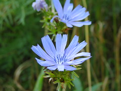 IMG_4012 Chicory (jgagnon63@yahoo.com) Tags: camp canonsx40 labordayweekend september endofsummer blooms blossums dickinsoncounty uppermichigan flower