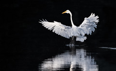 Egret dancing on the edge of darkness (Mike Martin, Wildlife Photography) Tags: greategrets whiteegrets egrets