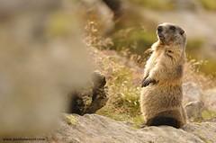 Marmot (Marmota marmota) - www.paolomeroni.com (www.paolomeroni.com) Tags: wwwpaolomeronicom marmot marmotta marmotamarmota paolomeroni mammalia mammals mountain fauna wild wildlifephotography wildschwein iucn ngc nikonflickraward spluga