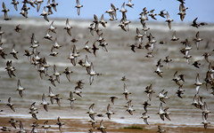 Hoylake (Cal Killikelly) Tags: wildlife hoylake dee estuary waders dunlin