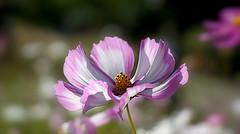 Solar Cosmos (SteveJM2009) Tags: cosmos flower dof focus bokeh bedding park lowergardens bournemouth dorset uk autumn september 2016 stevemaskell