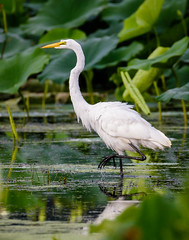 Great Egret (shooter1229) Tags: heronpark wetlands greategret nature bird outdoors canon avian animal