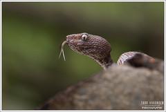 Trimeresurus purureomaculatus (Thor Hakonsen) Tags: trimeresuruspurpureomaculatus mangtovepitviper pitviper viper snake reptile hoggorm huggorm viperidae crotalinae thailand ranong