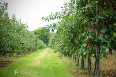 plums & apples (ggcphoto) Tags: plums apples apple farm perspective nature yummy sweet delicious landscape dof scenic happy grass trees