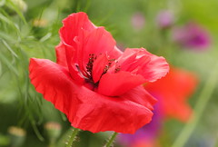 The Crumpled Tissue Paper Effect (Glenda Hall) Tags: poppy red greenbackground tissuepaper wildflowers depthoffield flower flowers plant blossom petal petals outdoor bright colourful cheerful macro tamron 90mm tamron90mmmacrolens canon60d summer august 2016 glendahall crumpledtissuepaper unedited sooc