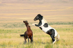 Wild Mustang stallion interaction 1 of 3 (rangerbatt) Tags: wildhorsefight fightingmustangs mustangstallions fightingstallions wildmustangherd wildmustang wildhorseherd wildhorse greatbasin utah utahwildlife outdoor plain landscape field hill