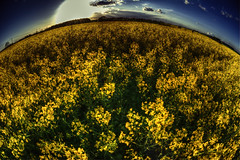 Essex Rapeseed Field (nigdawphotography) Tags: arable cloud crop essex farm field rapeseed sky sunshine yellow fisheye