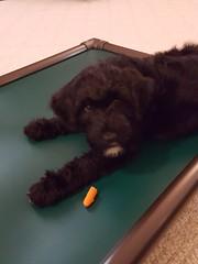Yum - Cold Carrots! (crisp4dogs) Tags: gabby pwd puppy portuguesewaterdog crisp4dogs