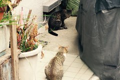Today's Cat@2016-09-07 (masatsu) Tags: cat thebiggestgroupwithonlycats catspotting pentax mx1