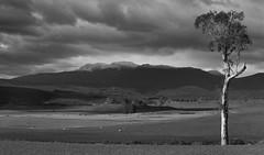 Lone tree (glyndavid) Tags: tree blackandwhite benlomond tasmania