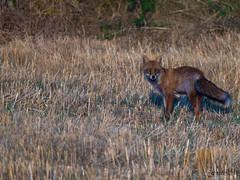 renard auvergne haute-loire nature (MARTIN FRED) Tags: renardroux vulpesvulpesenlatin sauvage