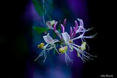 Windendes Geissblatt ... (acbrennecke) Tags: achimbrennecke flowers bokeh geissblatt colourful pink yellow green purple ranke kletterpflanze garden garten