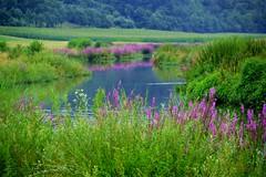 ein Meer aus lila (Lilith-Luana) Tags: main schwarzenau wasser fluss pflanzen lila farben natur natrlich wunder tistheseason nikonflickraward