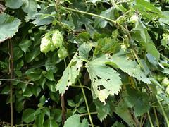 P1120018 (jrcollman) Tags: places humuluslupulushop europeincldgcanaries covehithe hophumuluslupulus britishisles suffolk